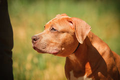 Portrait of a puppy on the nature close up. Pitbull Stock Image