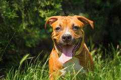 Portrait of a puppy on the nature close up. Pitbull. Stock Images
