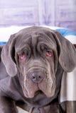 Portrait of puppy Neapolitana mastino closeup. Dog handlers training dogs since childhood. Stock Photo