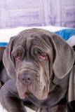Portrait of puppy Neapolitana mastino closeup. Dog handlers training dogs since childhood. Royalty Free Stock Photography