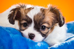 Portrait of a puppy Papillon on an orange background Royalty Free Stock Image