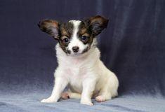 Portrait of a puppy Papillon Royalty Free Stock Photo