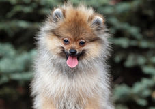 Portrait of Puppy Pomeranian Spitz outdoor Stock Images