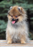 Portrait of Puppy Pomeranian Spitz outdoor Royalty Free Stock Image