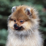Portrait of Puppy Pomeranian Spitz outdoor Royalty Free Stock Images