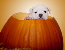 Portrait of a puppy in a pumpkin. A close up picture of a cute English Bulldog puppy posed inside of a pumpkin Royalty Free Stock Image