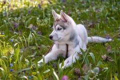 Portrait of puppy Siberian Husky Stock Photo