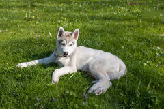 Portrait of puppy Siberian Husky Royalty Free Stock Images