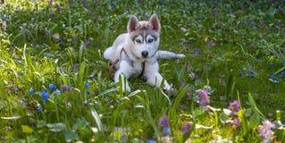 Portrait of puppy Siberian Husky Royalty Free Stock Photography