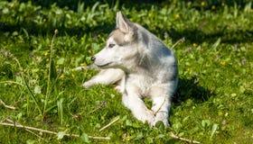 Portrait of puppy Siberian Husky Stock Photos