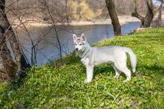 Portrait of puppy Siberian Husky Stock Photography