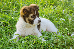 Portrait of Puppy Royalty Free Stock Photography