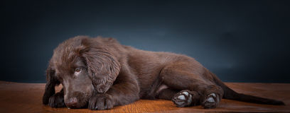 Portrait Puppy at the Studio. Portrait of an Flat Coated Retriever Puppy stock photography