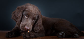 Portrait Puppy at the Studio. Portrait of an Flat Coated Retriever Puppy stock photos