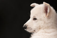 Portrait of the puppy of the white sheep-dog Royalty Free Stock Photo