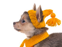 Portrait of puppy with yellow hat and scarf Stock Images