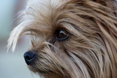 Portrait of Puppy yorkshire terrier close up Royalty Free Stock Photography