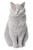Portrait of a pure bred cat royalty free stock photo