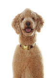 Pure breed poodle Royalty Free Stock Photos