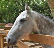 Portrait of a pure breed horse. Great horse portrait of a pure breed horse made during an exposition stock images