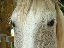Portrait of a pure breed horse. Great horse portrait of a pure breed horse made during an exposition royalty free stock photo