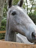 Portrait of a pure breed horse. Great horse portrait of a pure breed horse made during an exposition stock image