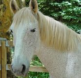 Portrait of a pure breed horse. Great horse portrait of a pure breed horse made during an exposition royalty free stock image
