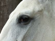 Portrait of a pure breed horse. Great horse portrait of a pure breed horse made during an exposition stock photo