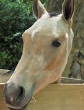 Portrait of a pure breed horse. Great horse portrait of a pure breed horse made during an exposition royalty free stock photography