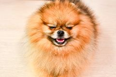 Pomeranian dog. Portrait of pure breed Pomeranian or german spitz dog royalty free stock photography