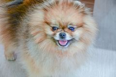Pomeranian dog. Portrait of pure breed Pomeranian or german spitz dog royalty free stock images