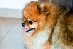 Pomeranian dog. Portrait of pure breed Pomeranian or german spitz dog royalty free stock photos