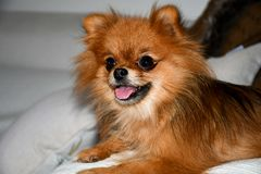 Pomeranian dog. Portrait of pure breed Pomeranian or german spitz dog stock images