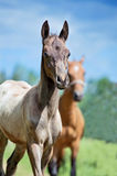 Portrait of  purebred akhal-teke foal Stock Images