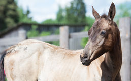 Portrait of  purebred akhal-teke foal Royalty Free Stock Images