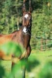Portrait of purebred akhalteke mare Stock Photos