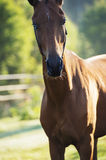Portrait of purebred akhalteke mare with colorful eyes Royalty Free Stock Images