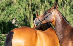 Portrait of purebred akhalteke mares Stock Images