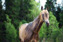 Portrait of purebred akhalteke stallion at forest background royalty free stock photo