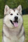 Portrait of purebred Alaskan Malamute dog Stock Photography