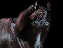 Portrait of  purebred arabian black filly at black  background Stock Photos