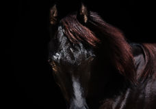 Portrait of  purebred arabian black filly at black  background Royalty Free Stock Photos