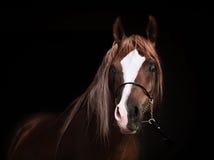 Portrait of purebred arabian chestnut  stallion at black backgro Royalty Free Stock Photos