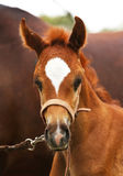 Portrait of a purebred arabian foal with her mother. Head shot of a thoroughbred little arabian colt stock photos