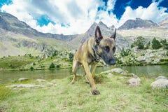 Belgian sheepdog on nature royalty free stock photography