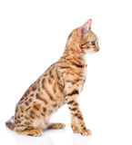 Portrait of a purebred bengal cat. Royalty Free Stock Image