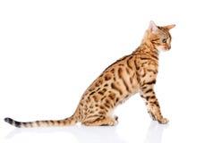 Portrait of a purebred bengal cat. Stock Photo