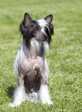 Portrait of  purebred, CHINESE CRESTED DOG Stock Images