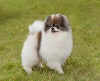Portrait of a purebred  dog Pomeranian Spitz Stock Photography