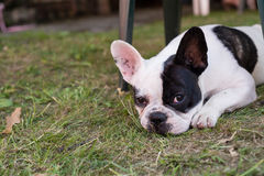 Portrait of a purebred french bulldog Royalty Free Stock Photos